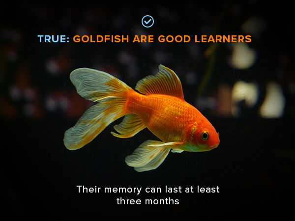 Goldfish fact: they are good learners and their memory can last three months